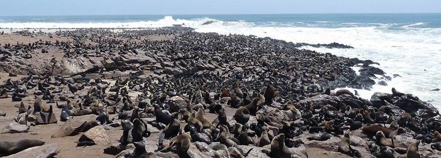 Colonies de phoques au Cap Cross