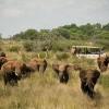 Safari, éléphants