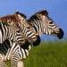 icone-zebre