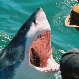 Requin blanc en Afrique du Sud