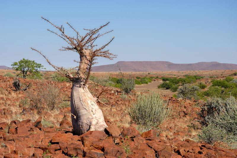 safari-namibie-moringa__06