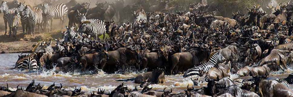 Safari Kenya :Migration des gnous dans le Masai Mara