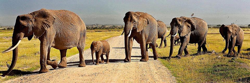 Safari Kenya : Troupeau d'éléphants dans le Parc national d'Amboseli